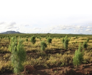 The trees are coming. Six forestry companies have planted just five per cent of what is planned for Niassa; all are fast-growing exotic species of pine and eucalyptus.Hazel Healy