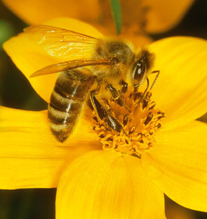 The Bees' Knees - The Facts Photo by: MAIN PHOTO: WILDLIFE / P.Hartmann / Still Pictures