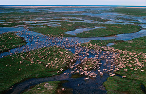 Caribou migrate across the tundra in summer, Hudson Bay, Canada.