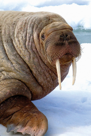 An Atlantic walrus lounges on Svalbard's pack ice.