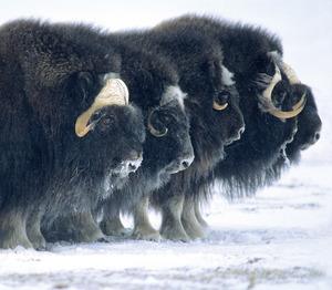 Musk Ox form a defensive line, Banks Island, Canada.Photo by: Bryan and Cherry Alexander