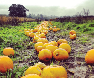 Gleaners recover tonnes of pumpkins such as these at a farm near Southampton, England.Photo: Gleaning Network UK