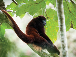 Things are looking up for the yellow-tailed woolly monkey, thanks to its human neighbours.Photo: Andrew Walmsley