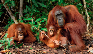 Looking for a home: orangutans in Borneo face a struggle to survive as forests are cleared.Photo: Rolf Nussbaumer Photography/Alamy Stock Photo