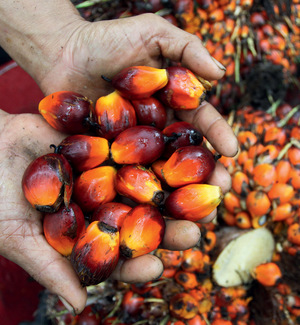 The red fruits of the palm oil tree which are crushed to release the valuable oil. Indonesia is now the world's top palm oil exporter.