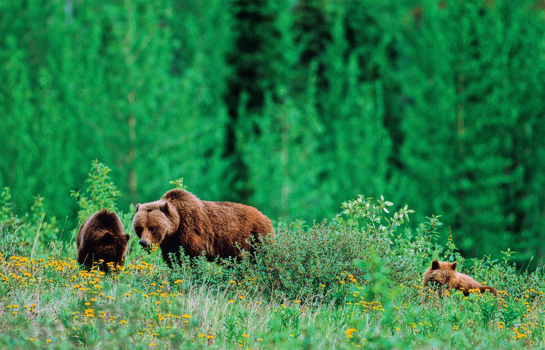 A grizzly bear mother and cubs in Canada's northern boreal forest. The boreal makes up 30 per cent of global forest cover and is severely threatened by climate change and resource extraction.