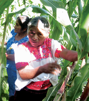 Women of the Nicolás Bravo community demonstrate their methods of selecting corn plants for seeds during an agroecology training course, Chiapas, Mexico.