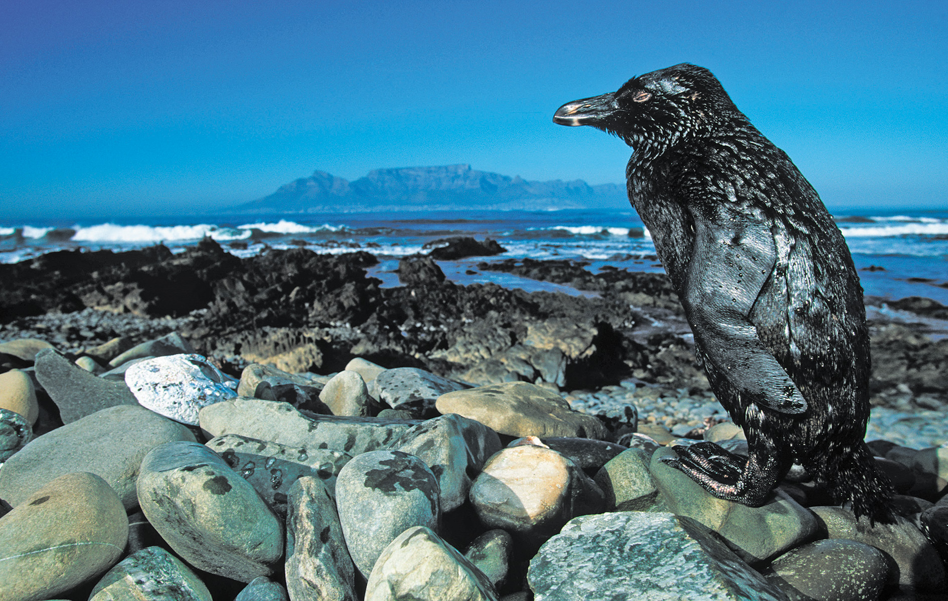 Portent of doom: a penguin covered in oil following a spill off the coast of South Africa.