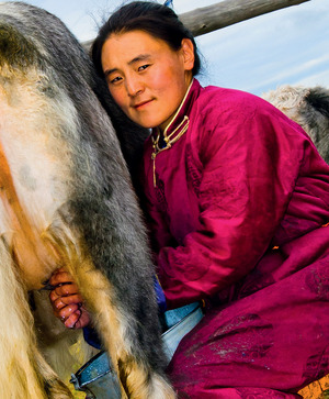 A female herder milks one of her yaks. The skill is soon forgotten by those who leave the land for a new life in the city.