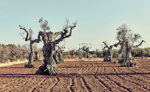 Infected by Xylella, an olive tree that locals say is 1,500 years old, stands dead in Apulia, Italy.Photo: Antonio Sorrentino / Luz / Eyevine