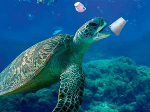 A sea turtle about to chomp on a styrofoam cup. Marine animals have difficulty distinguishing plastic from food.
