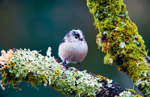 Is this bird an anarcho-communist? If a long-tailed tit's young die, it will help one of its neighbours raise theirs instead.Photo: David Chapman / Alamy