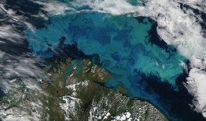 Phytoplankton bloom in the Barents Sea.Photo: NASA