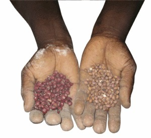 Handle with care: two varieties of legume saved for seed in eastern Kenya.Isahu Esipisu