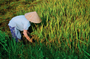 Toiling in the paddy fields in Vietnam.